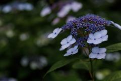 紫陽花 ⑰