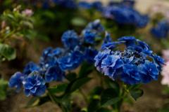 紫陽花 ⑱