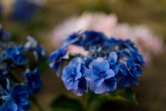 紫陽花 ⑪