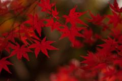 紅葉 オールドレンズ⑤