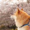 桜とコロン君