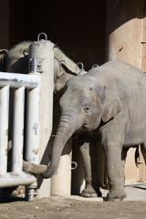 アジア象 さくらちゃんとお父さん