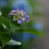 紫陽花 ㊹