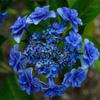 紫陽花 ⑧ 待望の雨