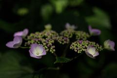 紫陽花 ⑫