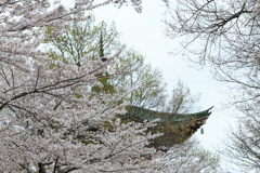 平和堂の桜