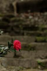 山茶花 椿園