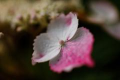 紫陽花 ⑬