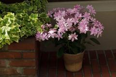 紫陽花 ⑥ お店の紫陽花