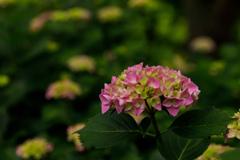 紫陽花 ⑮