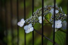 紫陽花 ⑦ 柵越しのあじさい