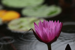 睡蓮と糸トンボ 雨のフラリエ
