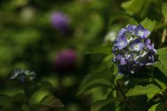 紫陽花 ⑤