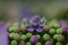 紫陽花 ㉑
