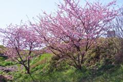 桜咲く萌黄の丘