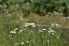 よく見かける花