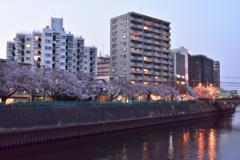 夕暮れ桜みち