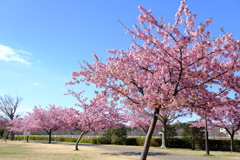 桜、咲いたね