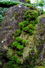 イワヒバの岩登り