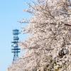 満開の桜は電波に乗って