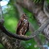 アオバズクの成鳥2