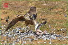 オオタカの狩猟