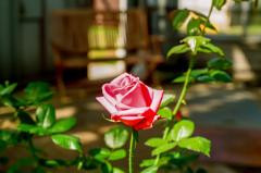 午後の薔薇