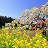 菜の花とシダレモモ