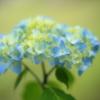 ご近所の紫陽花2