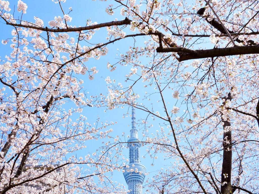 sakura&skytree