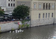 プラハ(226)モルダウ川の白鳥