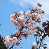 「すかい」青い空と櫻