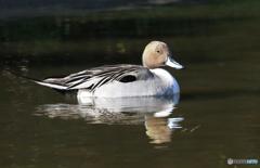 「スカイ」すいすいと泳ぐ尾長鴨