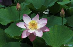 「青が大好き」大賀ハス 4日目の淡いピンク色