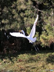「スカイ」大鷺が飛んだ!
