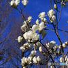 ☀「青い空」限りなく蒼い空の木蓮