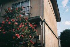 アパートの椿