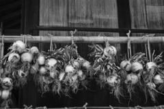 収穫~玉ねぎ