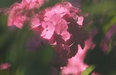 紫陽花の影