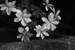 白山神社 紫陽花祭り モノクロ