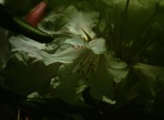 葉の下のシャクナゲ