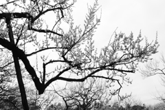 梅の木 モノクロ