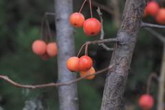 さくらんぼみたいな赤い実