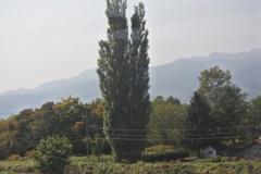 大きなポプラの木のある家
