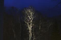 白樺のライトアップ