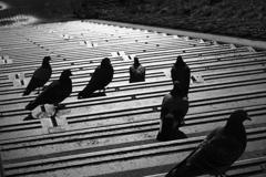 夕暮れの鳩たち