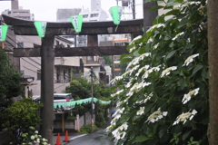 白山神社 紫陽花祭り~鳥居