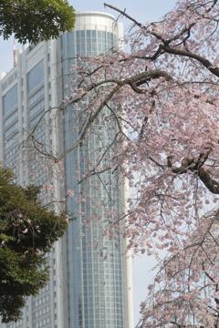ドームシティホテルと桜