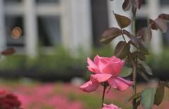 洋館の薔薇