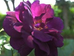 薔薇の名前~ミッドナイト ブルー